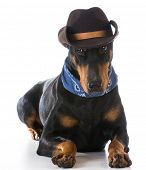 foto of doberman pinscher  - country dog  - JPG