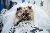 picture of racy  - wedding portrait a cat on the couch in the apartment - JPG