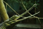stock photo of crocodilian  - Gharial  - JPG