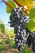Blue Grapes In Autumn