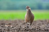 stock photo of pheasant  - Photo of wild female pheasant in a field - JPG