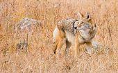 Colorado Coyote