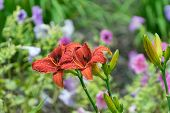 picture of asiatic lily  - A pair of beautiful Red Asiatic Lilies in a garden covered with water drops after a Spring rain - JPG