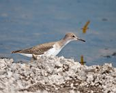 picture of virginia  - Spotted sandpiper near Lake in West Virginia  - JPG