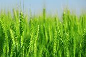 image of nubian  - green wheat field - JPG