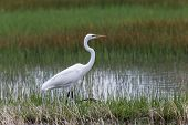pic of marshes  - A Great Egret walking in the grassy marsh with a watchful eye - JPG