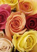 Bright, Beautiful Mixed Roses