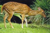 stock photo of quadruped  - deer - JPG