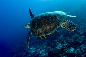 Green Turtle With Remora Swimming Over A Coral Reef