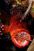Leopard Coralgrouper With Cleaner Shrimp In Its Mouth