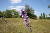 The Bellflower In Meadow