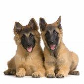 Couple Of Puppy Belgian Tervuren