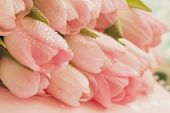 Soft Tender Tulips Of Salmon, Pale Pinkish Orange, Light Pink Color With Dew Close-up. Spring Flower poster