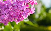 Lilac Pink Flowers, Summer Floral Background With Summer Lilac Flowers Blooming In The Summer Garden poster