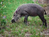bearded pig in borneo bako park,malaysia