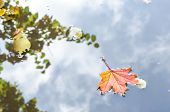 Autumn Maple Leaves. The Leaf Of The Maplelies On The Ponds Water Surface poster