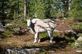 North Cascades Mountain Goat