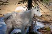 North Cascades Mountain Goat Kid