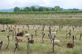 Rows Of Derelict Grape Vines With Sheep