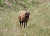 Solitary Brown Sheep