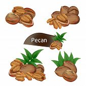 Pecan Kernel In Nutshell With Green Leaves Set Isolated On White Background Illustration. Organic Fo poster