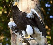 Stellar's Sea Eagle Haliaeetus Pelagicus Spreading Wings