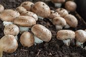 Cultivation Of Brown Champignons Mushrooms, Grow In Underground Nature Caves In France, Ready For Ha poster