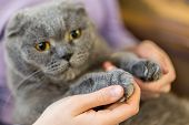 Close-up Fluffy Cats Paw In Human Hands. Pets Care And Friendship. Prohibition Of Cats Declawing Su poster