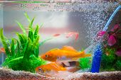 Постер, плакат: Little Fish In Fish Tank Or Aquarium Gold Fish Guppy And Red Fish Fancy Carp With Green Plant Un