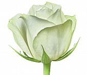 A White Rose Flower Isolated On A White  Background. Close-up. Flower Bud On A Green Stem With Leave poster