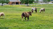 Ponies And Miniature Ponies Grazing In Field On A Sunny Summer Day poster