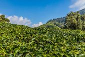 Cameron Highlands Malaysia. 10 March 2019.tea Plantations In The Cameron Highlands In Malaysia poster