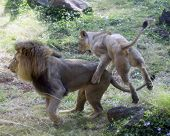 Lions Play
