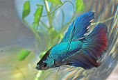 stock photo of fishbowl  - Moon tail beta - JPG