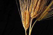 grain mature