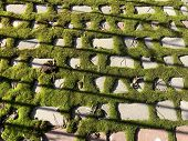 Paving Slabs Covered With Moss. Green Moss On The Road. Background Texture: Pavement Covered With Gr poster