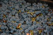 Black Grape As Food Background. The Close-up Of Tasty Natural And Fresh Grapes. Close Up Image Of Yu poster