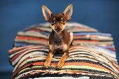 Beautiful Russian Toy Terrier Sits On A Striped Plaid On A Blue Background. Small Manual Domestic Do poster