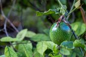 The Passion Fruit On The Vine. Close Up Of Passion Fruit On The Vine, Selective Focus poster