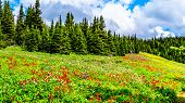 Hiking Through The Alpine Meadows Filled With Abundant Wildflowers. On Tod Mountain At The Alpine Vi poster