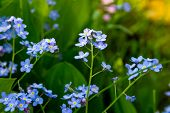 Blue forget-me-not flowers (Myosotis sylvatica).