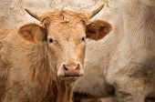 Cows In The Pasture. White Cattle Living Outdoors In Nature. Meat Breed. Young Cow. poster