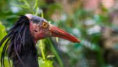 The Face Of A Northern Bald Ibis In Closeup, Endangered Bird Specie From Africa poster