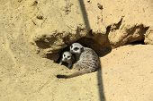 Cute Meerkats At Enclosure In Zoo On Sunny Day poster