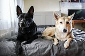 Curios Dogs Relaxing On Bed At Home poster