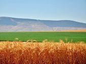 Israeli golden stalks of wheat