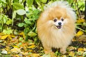 Portrait Of Small Adult Ginger Fluffy Pomeranian Spitz Dog Barking, Howling, Looking, Calling For Th poster