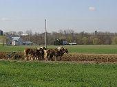 Amish Plow Pferde