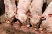 stock photo of farrow  - piglets during silent on the teats of the big pig - JPG