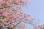 stock photo of lapacho  - Pink Trumpet Or Tatebuia Blossom With Blue Sky - JPG